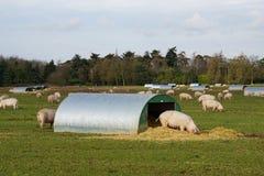 Granja de cerdo Imagenes de archivo
