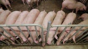 Granja de cerdo con muchos cerdos metrajes