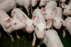 Granja de cerdo Pequeños cochinillos El cultivo de cerdo es el aumento y la crianza de cerdos nacionales Fotos de archivo libres de regalías
