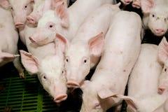 Granja de cerdo Pequeños cochinillos El cultivo de cerdo es el aumento y la crianza de cerdos nacionales Fotografía de archivo