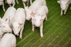 Granja de cerdo Pequeños cochinillos El cultivo de cerdo es el aumento y la crianza de cerdos nacionales Imagenes de archivo
