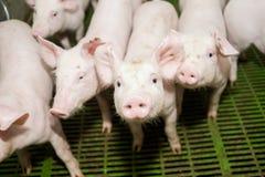 Granja de cerdo Pequeños cochinillos El cultivo de cerdo es el aumento y la crianza de cerdos nacionales Imagen de archivo