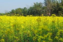 Granja de la agricultura de la mostaza foto de archivo