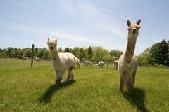 Granja de la alpaca Foto de archivo libre de regalías