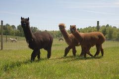 Granja de la alpaca Fotografía de archivo