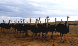 Granja de la avestruz Foto de archivo