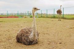 Granja de la avestruz Imágenes de archivo libres de regalías