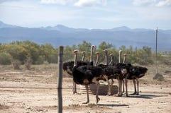 Granja de la avestruz Fotos de archivo libres de regalías
