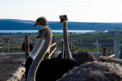 Granja de la avestruz fotografía de archivo libre de regalías