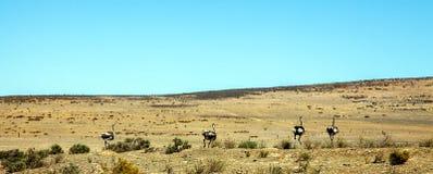 Granja de la avestruz en el querido Fotos de archivo