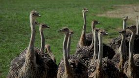 Granja de la avestruz Las avestruces caminan lentamente a través de la hierba Observe cuidadosamente el mundo almacen de video