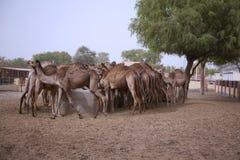 Granja de la cría del camello en Bikaner imagen de archivo