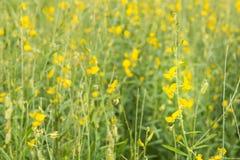 Granja de la flor de la crotalaria en fondo de la primavera Fotografía de archivo
