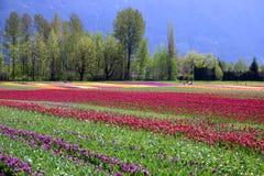 Granja de la flor del tulipán fotografía de archivo