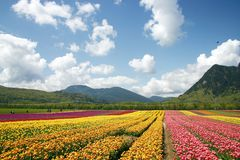 Granja de la flor del tulipán Imágenes de archivo libres de regalías