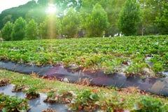 Granja de la fresa debajo del sol Fotografía de archivo libre de regalías