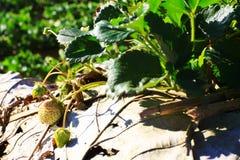 Granja de la fresa en la colina Foto de archivo libre de regalías