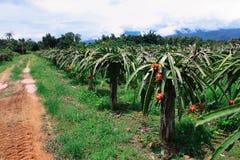 Granja de la fruta del dragón en Tailandia Foto de archivo libre de regalías