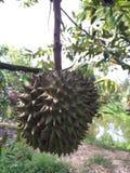 granja de la fruta del durian Foto de archivo libre de regalías