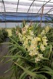 Granja de la orquídea del Cymbidium foto de archivo