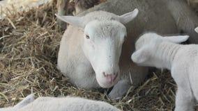 Granja de la oveja almacen de metraje de vídeo