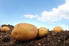 Granja de la patata en el campo Foto de archivo libre de regalías