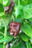 Granja de la pimienta caliente Imagen de archivo