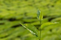Granja de la plantación de té Imágenes de archivo libres de regalías