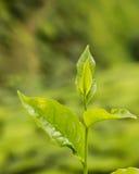 Granja de la plantación de té Imagen de archivo libre de regalías