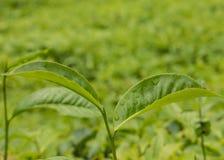Granja de la plantación de té Fotos de archivo libres de regalías