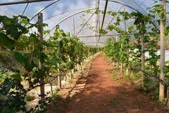 granja de la uva Fotos de archivo libres de regalías