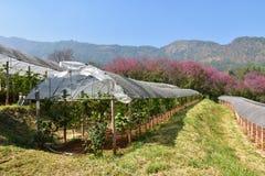 Granja de la uva con la flor de cerezo en fondo Fotografía de archivo