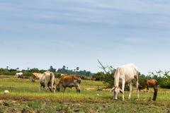 Granja de la vaca Fotos de archivo