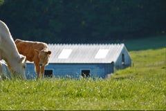 Granja de la vaca Imagenes de archivo