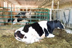 Granja de la vaca lechera Imagenes de archivo