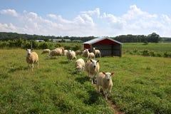 Granja de las ovejas Imágenes de archivo libres de regalías
