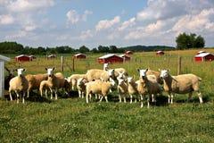 Granja de las ovejas Foto de archivo libre de regalías