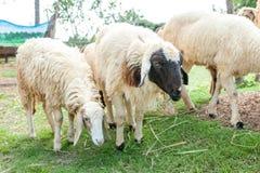 Granja de las ovejas Imagen de archivo