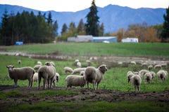 Granja de las ovejas en Nueva Zelandia imagen de archivo libre de regalías