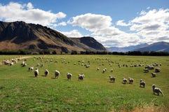Granja de las ovejas en Nueva Zelandia Fotografía de archivo