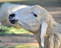 Granja de las ovejas en tailandés Imagenes de archivo