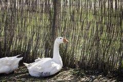 Granja de los gansos de la manada Foto de archivo libre de regalías