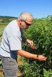 Granja de los tomates de cereza de la cosecha del hombre mayor rural Foto de archivo libre de regalías