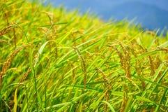 Granja de oro del arroz, Japón Foto de archivo libre de regalías
