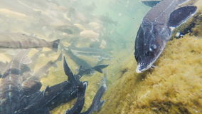 Granja de pescados para la trucha y el esturión almacen de metraje de vídeo