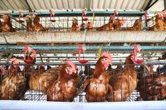 Granja de pollo Foto de archivo libre de regalías