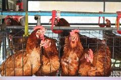 Granja de pollo Fotografía de archivo libre de regalías
