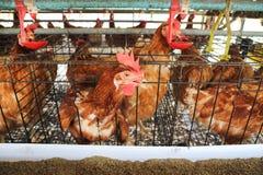 Granja de pollo Fotografía de archivo