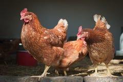 Granja de pollo Foto de archivo