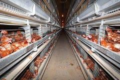 Granja de pollo Fotos de archivo
